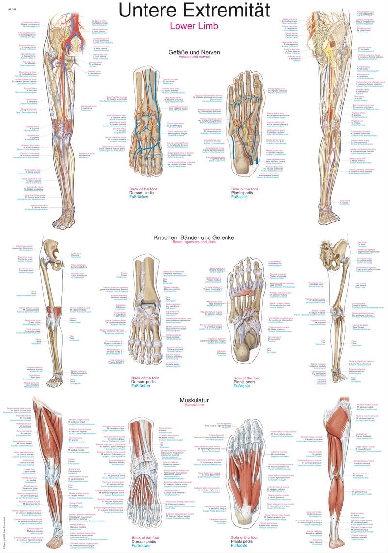 Plansza anatomiczna - kończyna dolna (AL108)